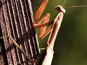 Praying Mantis Seeking Prey