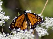 Where Have Monarchs Gone?