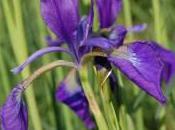 Plant Week: Iris Typhifolia