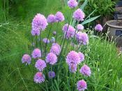 Granny's Bonnet Growing Country Garden
