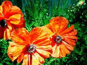 Poppies Have Bloomed...