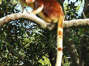 Kangaroo That Went Back Trees