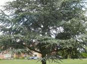 Plant Week: Cedrus Atlantica