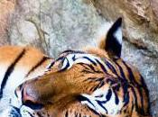 Featured Animal: Malayan Tiger