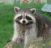Featured Animal: Raccoon