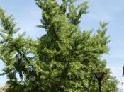 Plant Week: Ginkgo Biloba