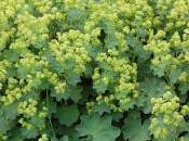 Plant Week: Alchemilla Mollis