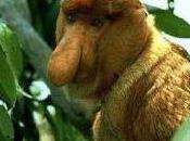 Featured Animal: Proboscis Monkey