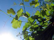 Limey Grapevine Leaves Under Blue Sky...