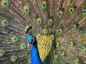 Featured Animal: Peacock