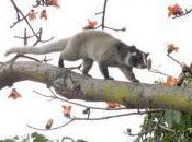 Featured Animal: Masked Palm Civet