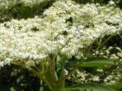 Plant Week: Sambucus Nigra