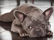 Help Your French Bulldog with Separation Anxiety