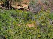 Tree-following Stand-in: Singleleaf It?)