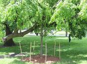 Meet Trees Linden Story Crutch