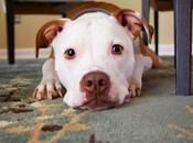 Best Food Pitbulls Choose Right Your Dog?
