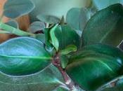 Growing Peperomia Obsession....