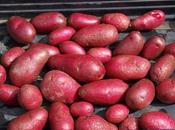 "Potato ""Highland Burgundy Red"""