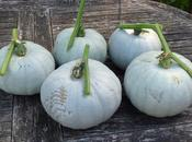 """Harvesting """"Crown Prince"""" Squashes"""