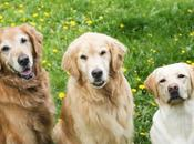 Golden Retrievers Shed More Than Labs? Let's Facts Straight!