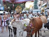 Cattle Meance Rampaging Vigilante