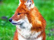 Dhole: Asia's Unique Species Endangered Wild
