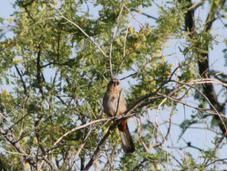 Birding Southeast Arizona–Day Madera Canyon