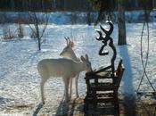 Rare Pair White Deer Brighten Ontario Backyard