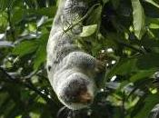 Featured Animal: Cuscus