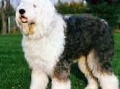 Featured Animal: English Sheepdog