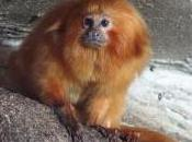 Featured Animal: Golden Lion Tamarin