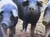 Queen Italian Pigs, Cinta Sensa