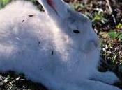 Featured Animal: Arctic Hare