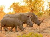 Rhinos: They Important, Reasons Extinction, Save Rhinos Interesting Facts