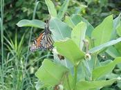 Milkweed Monarchs