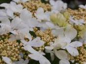 Plant Week: Viburnum Plicatum 'Mariesii'