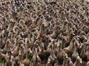 5,000 Ducks Their Pond