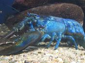 Second Blue Lobster Caught North America Moon