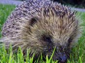 Obesity Epidemic Hits Hedgehog England