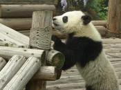 Panda Awareness Week Kicks with Trafalgar Square