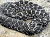 Featured Animal: Rattlesnake