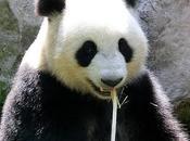 Panda Awareness Week