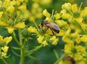 Plant Week: Ruta Graveolens