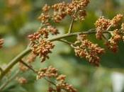 Plant Week: Macleaya Cordata