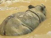 Featured Animal: Sumatran Rhinoceros