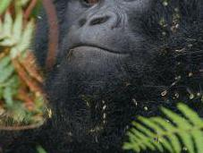Mountain Gorillas Strike Back