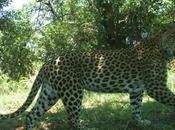 Panthera Leopard Monitoring Report 2020