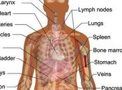 Diagram Human Internal Orgins Free Body Organs, Download Clip Art, Anatomynote.com Found Anterior View Organs from Plenty Anatomical Pictures Internet.