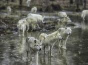 Wolves Under Threat Mankind