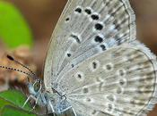Pale Grass Blue Butterfly: Impacts Radioactive Disaster